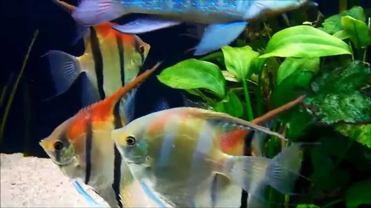 Pterophyllum Scalare Red Back Youtube