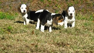 Beagle, Puppies, For, Sale, In, Raleigh, North Carolina, Nc, Lumberton, Kernersville, Mint Hill, Sta