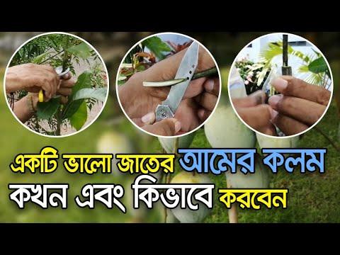 How to Grafting Mango Tree Successfully   Vumika TV