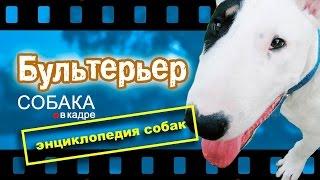 Бультерьер. Энциклопедия пород собак.