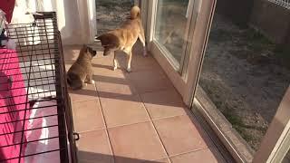 淡路島で保護された犬猫たちです。 里親募集中。 お母さん犬の甘えて、...