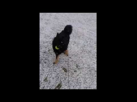 Happy Finnish Lapphund playing in the snow (Malmo, Sweden 2017011)