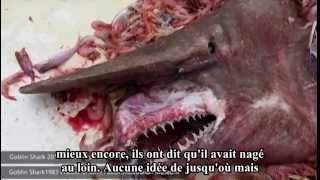un requin lutin rare piégé dans leurs filets