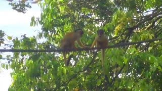 面白い猿 !ボリビア リスザル の 決 闘 !