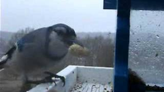 Blue Jay At The Feeder - Loud Screech