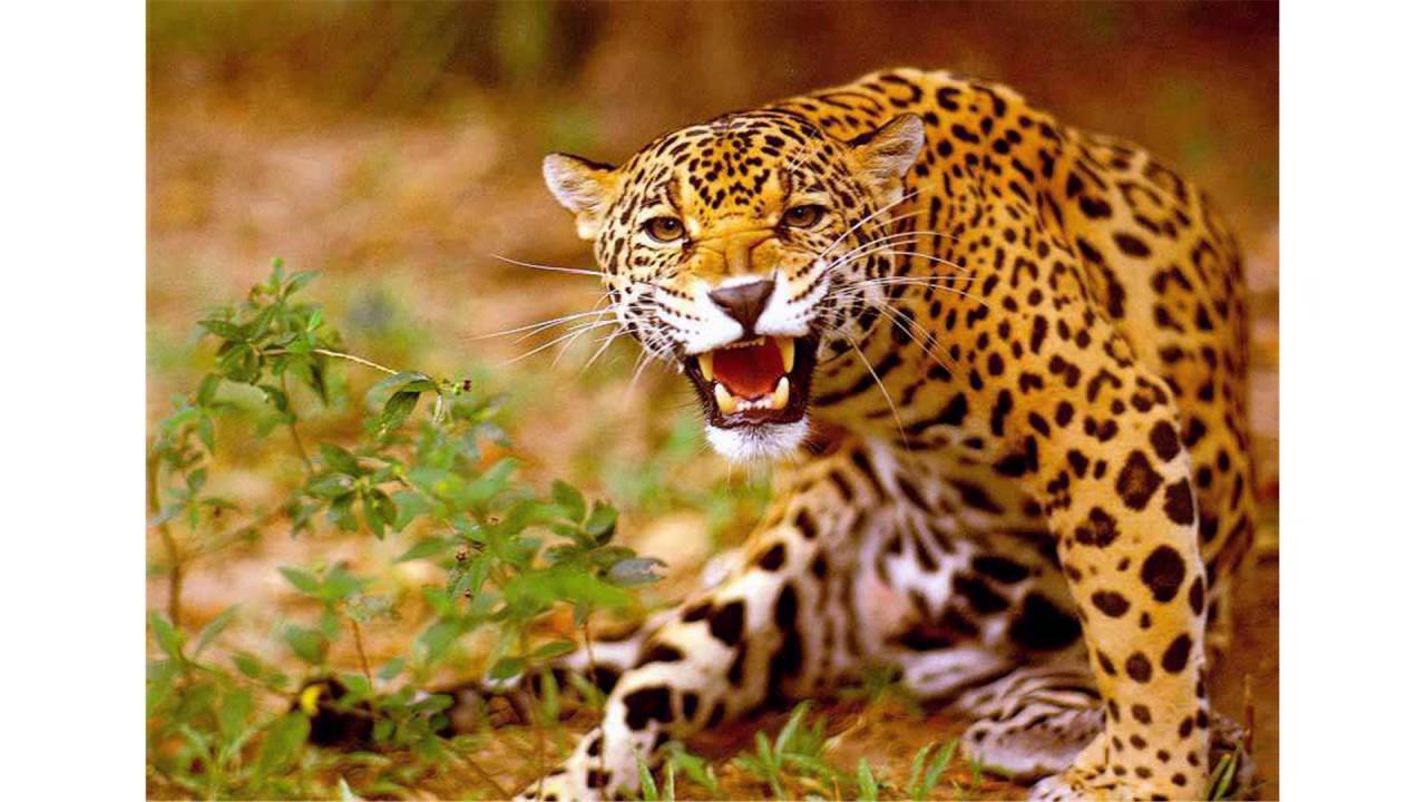 jaguar roar - YouTube