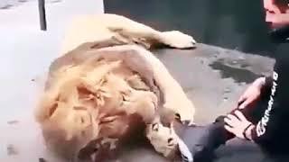 Lion  funny  video (best jokes)