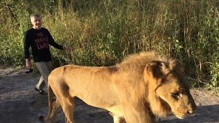 Nie drażnić lwa! - spacer z lwami w parku narodowym Fathala, Senegal