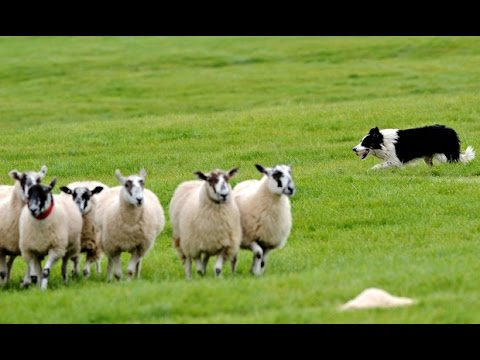 incredible sheepdog of border collie - centro cinofilo i feel my dog