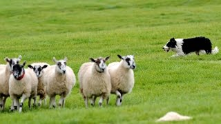 Video incredible sheepdog of border collie - centro cinofilo i feel my dog download MP3, 3GP, MP4, WEBM, AVI, FLV Mei 2018