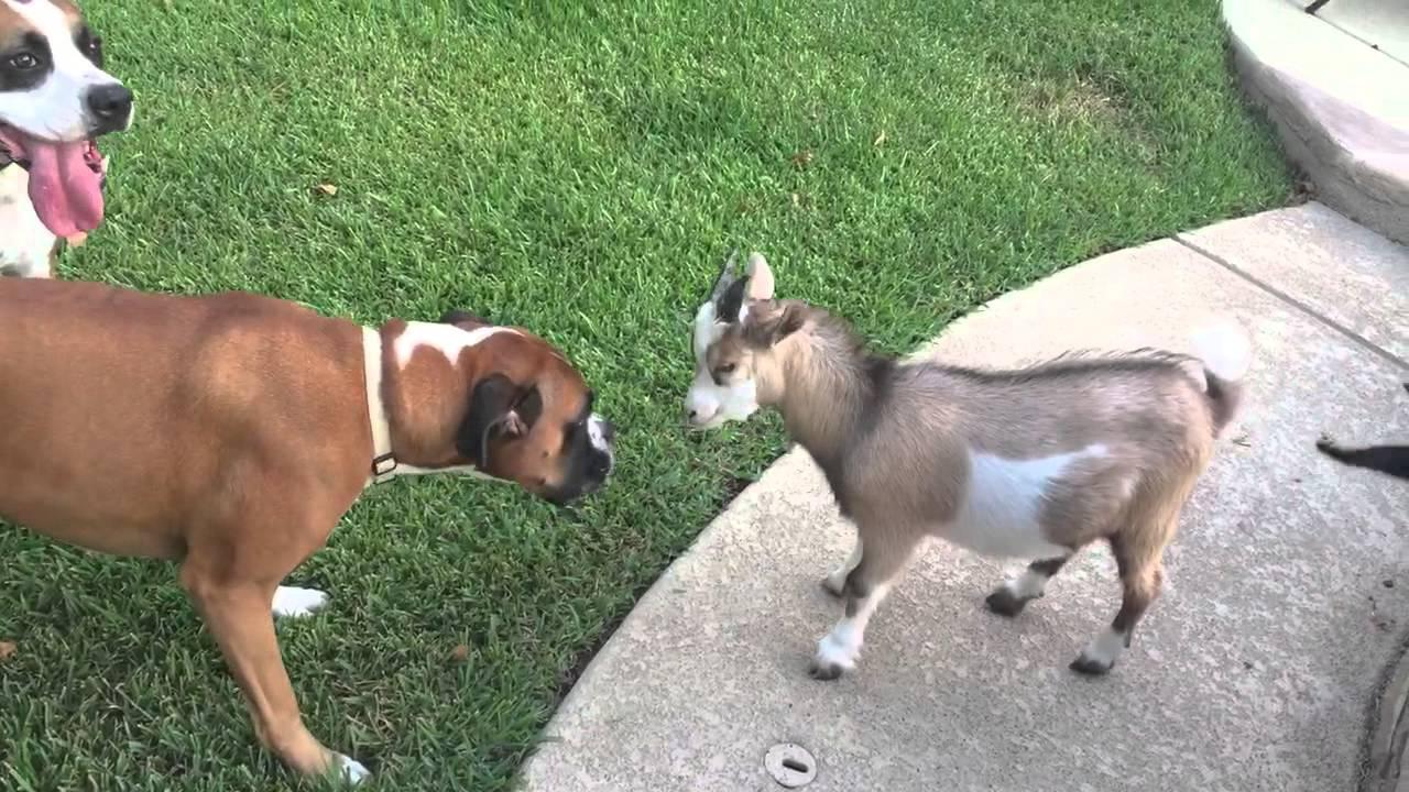 david the boxer verses tiny goat nacho youtube