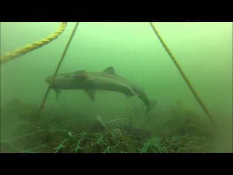 Spiny Dogfish Underwater Footage