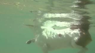 石垣島の海でJack Russel Terrierの犬かきです。 飛行機乗って頑張って...