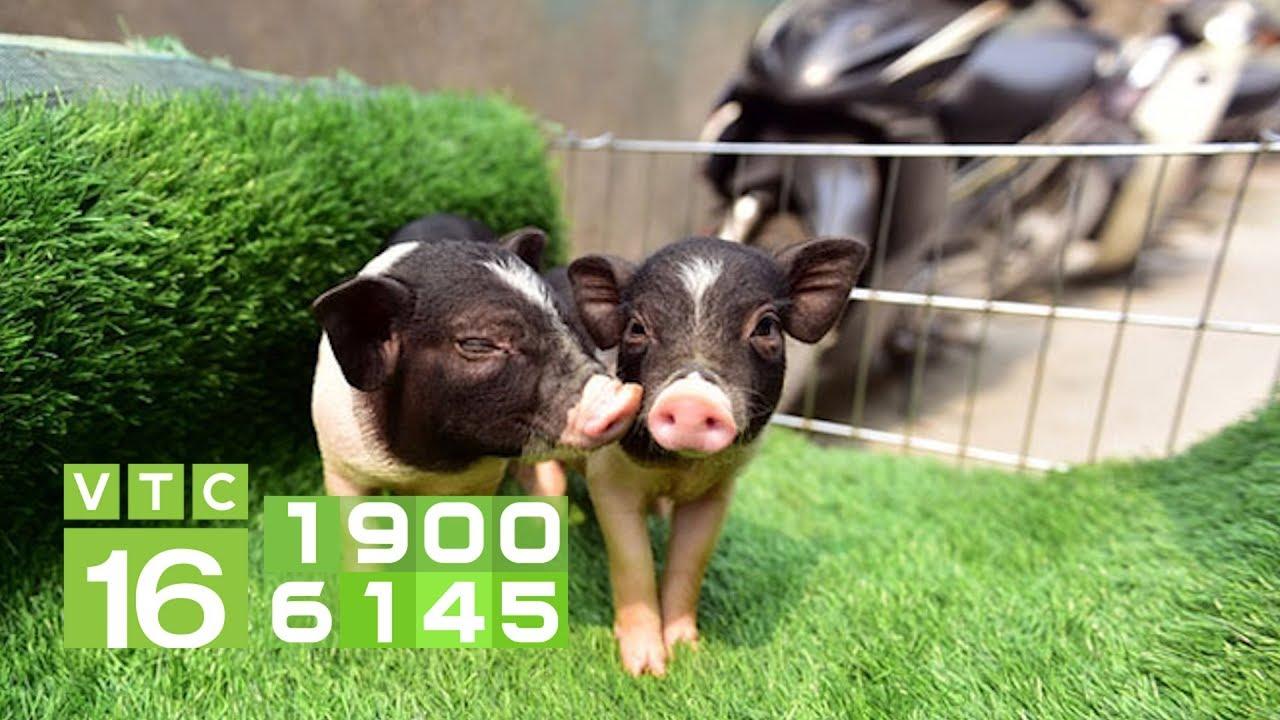 Ngang nhiên rao bán lợn cảnh mini Trung Quốc I VTC16