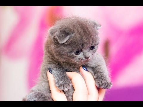 видеоролики с британскими кошками