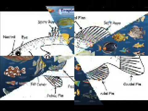 Fish Anatomy for EDT 3470