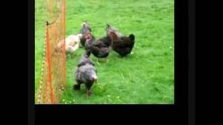les poules brahma, faverolles et marans