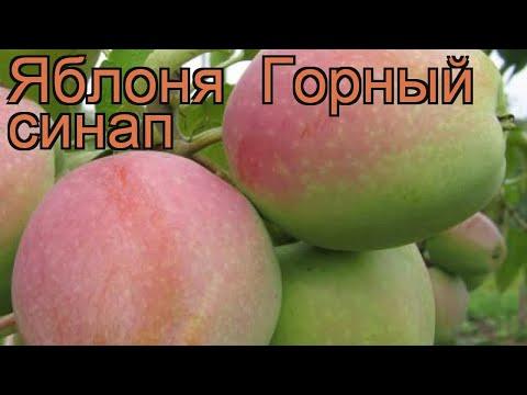 Яблоня обыкновенная Горный синап (gornyy sinap) 🌿 обзор: как сажать, саженцы яблони Горный синап