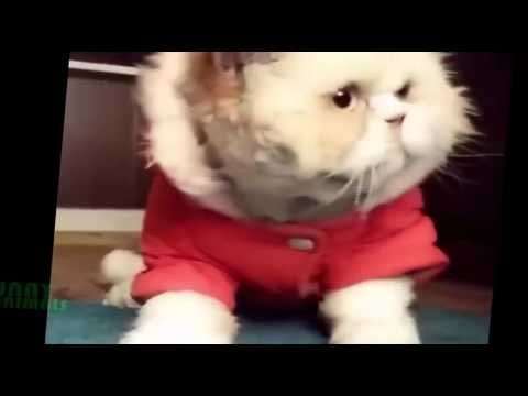 Funny Cat Compilation 2016 Dancing Cats