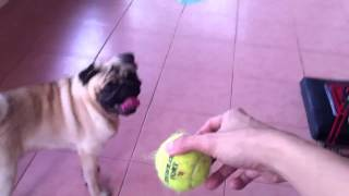 Prozac the Pug: Ball Fetching