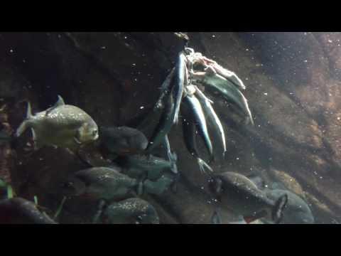 Piranha Feeding Time At The Georgia Aquarium