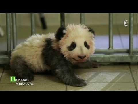 Un bébé panda au Zoo de Beauval, émission spéciale de France 3 Centre-Val de Loire