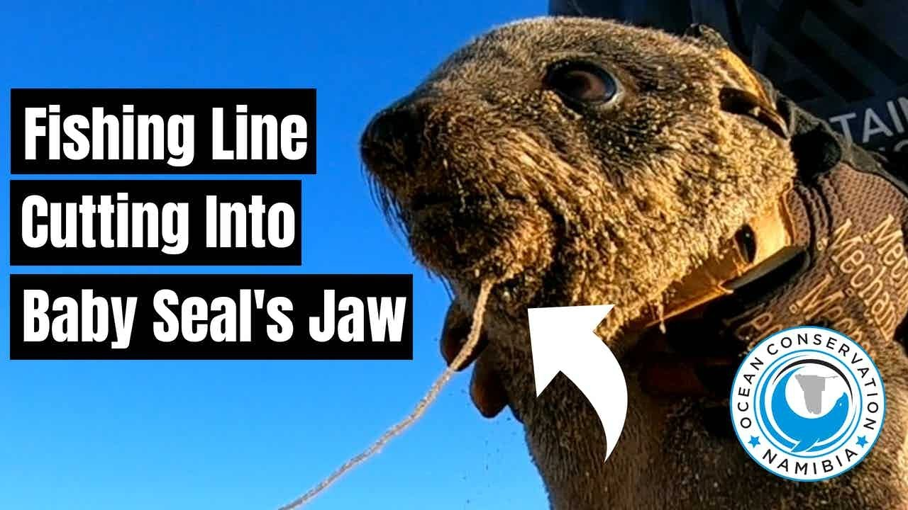 Fishing Line Cutting into Baby Seal's jaw