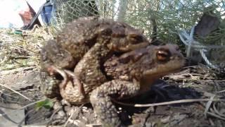 жаба наездница