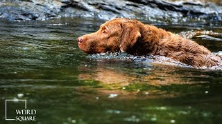 chesapeake bay retriever puppies | Chessies can make a great family dog