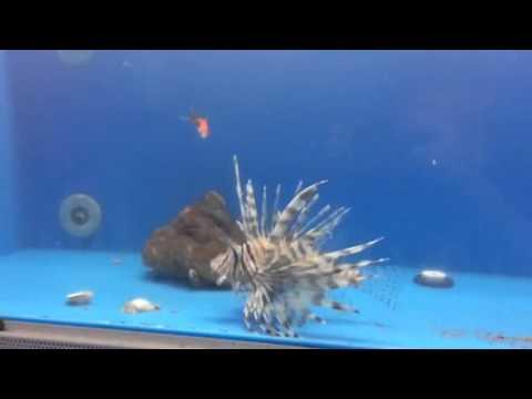 Lionfish Eating Goldfish