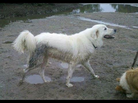 Muddy Maremma Sheepdog
