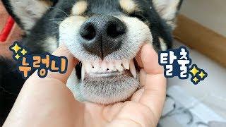 강아지랑 츄러스 간식 같이 먹어요 / 덴탈라이프 키트 리뷰 / 시바견곰이탱이 Shibainu
