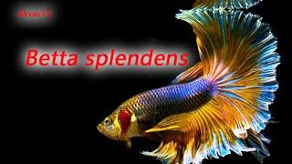 ПЕТУШКИ ИЛИ БОЙЦОВЫЕ РЫБКИ. ПОДБОРКА КРАСИВЫХ ФОТО. Betta fish