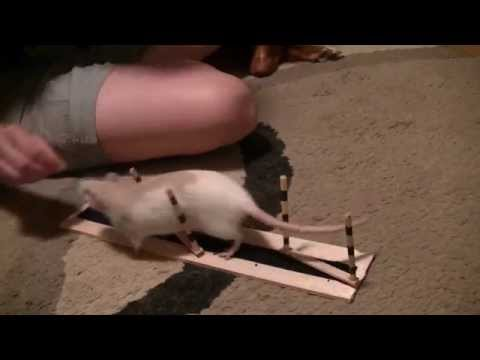 Peneope the Rat Weave Pole Training!