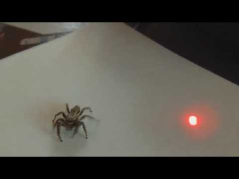 jumping spider likes lasers youtube