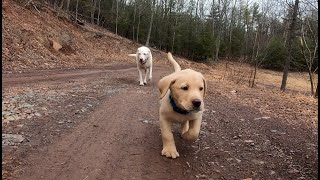 Getting a lab puppy