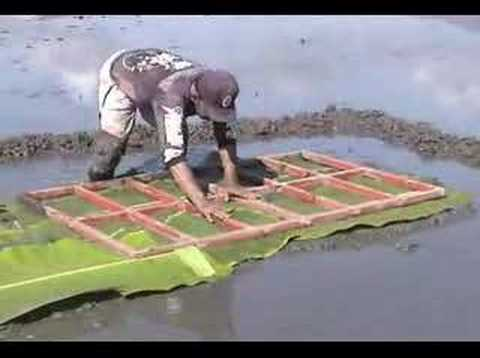 Elishing A Modified Mat Nursery For Rice