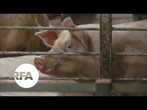 Large-Scale Pig Farms Taking Over in China | Radio Free Asia (RFA)
