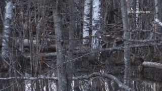 Bebru medības pavasarī / Охота на бобров весной