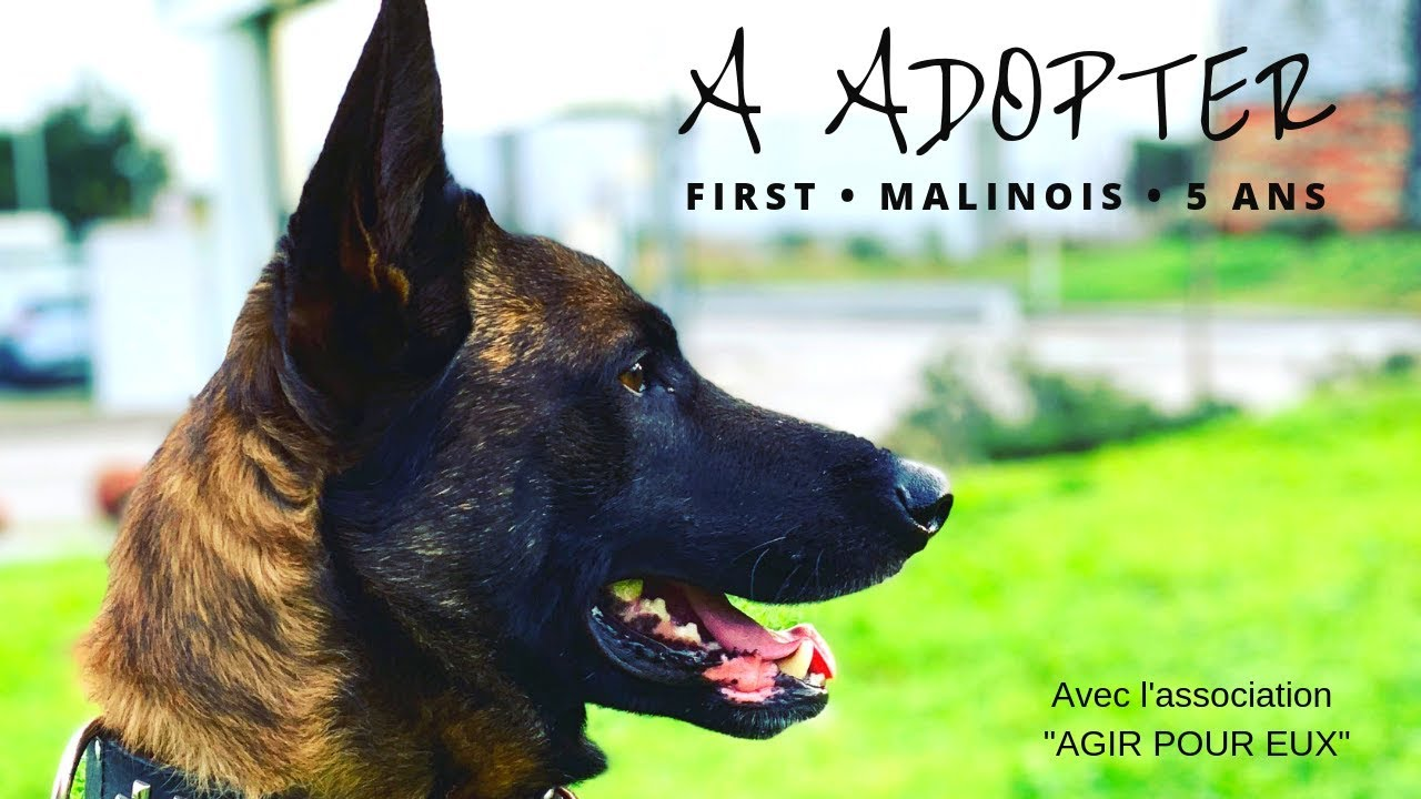 N 2 A Adopter Malinois 5 Ans First Youtube
