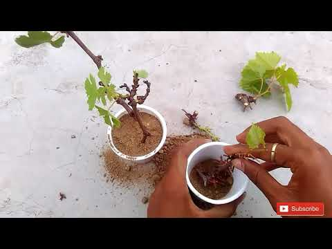 how to grow grapes from a cutting