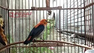 Burung Kemade / Cit Keres / Cabai Jawa Gacor Full Tembakan