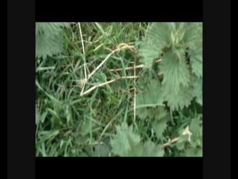 How to make natural organic nitrogen rich plant food fertilizer from nettles youtube - Organic flower fertilizer homemade solutions ...