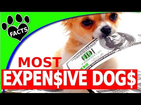 TopTenz: 10 Expensive Dogs Only Rich People Can Afford To Buy - Animal Facts