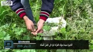 مصر العربية | الخبيزة سيدة موائد فقراء غزة في فصل الشتاء