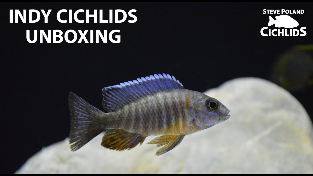 Fish Unboxing: 5 New Peacocks From Indy Cichlids