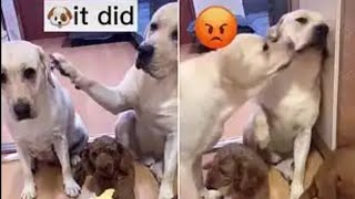 Labrador Gets Headbutted By Guilty Pal For Snitching To Owner About Messy Floor
