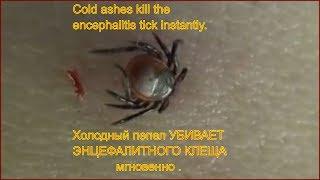 Энцефалитный клещ умирает мгновенно от холодного пепла Клещ умирает Укусил клещ укус клеща tick