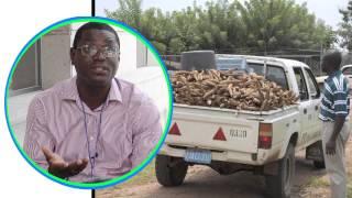 Q&A on cassava science: cassava brown streak disease threat to West Africa -- Part 7 of 7