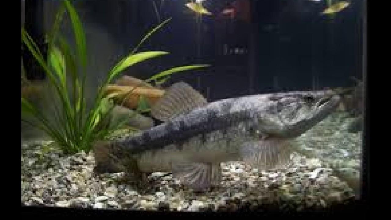 Fish aquarium in kurla - Aquarium Fish Wolf Malbaricus For Sale Mumbai 9833898901